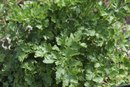 What Are the Benefits of Parsley Leaf?