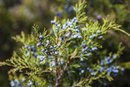 Juniper Berries and Health Benefits