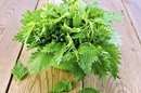 Nettle & Kidney Function