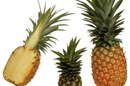 Does Sugar Content Rise as Fruit Ripens?