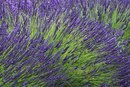 How to Use Lavender for Herpes