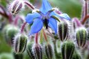 Benefits of Borage Oil