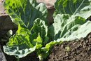 Are Collard Greens or Kale More Nutritious?