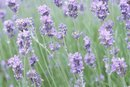 Lavender Oil & Male Hormones