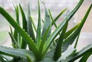aloe vera for weight loss livestrong