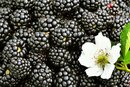 When Are Blackberries in Season?