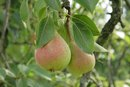 Pear Allergy Symptoms