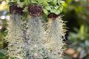 What Are the Benefits of Spanish Moss?