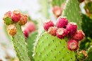 Nutritional Value of Red Cactus Pear