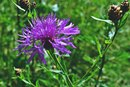 Can Milk Thistle Shrink Gallstones?