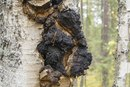 Side Effects of the Chaga Mushroom