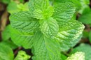 Uses of Peppermint Oil for Headaches