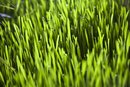 What Does Wheatgrass Do in Your System?