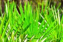 Toxic Levels of Saw Palmetto