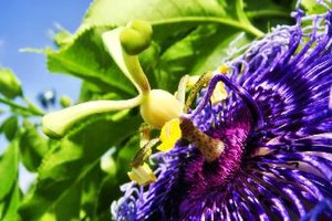 What Are the Benefits of Passion Flower for Menopausal …