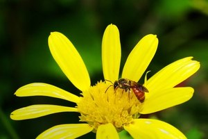 Home Remedy for a Red Wasp Sting