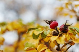 The Effects of Rose Hips During Pregnancy
