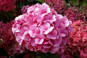 What Are the Benefits of Hydrangea Root Herb?
