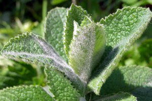 Culinary Uses of Different Mint Herbs