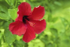 What Are the Health Benefits of Hibiscus Tea?