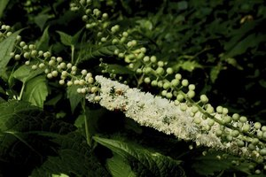 Is a Dose of 540 mg a Day of Black Cohosh Safe for Wome…