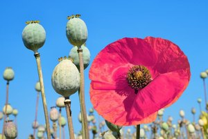 What Are the Effects of Smoking Opium?
