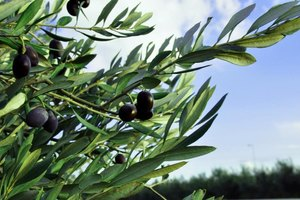 How to Use Olive Leaf Extract for Herpes