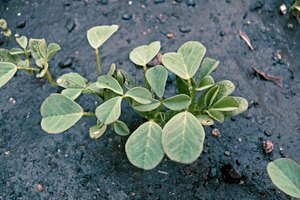 Use of Fenugreek for Colds