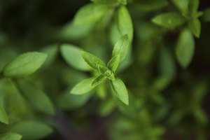 Is Stevia Safe for Pregnancy?