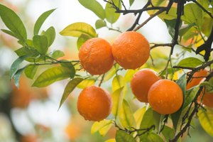 Tangerines As a Diet