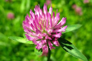 What Effects Does Red Clover Have on Uterine Fibroids?
