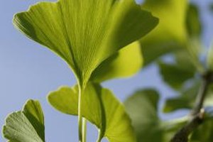 What Is the Recommended Dosage for Ginkgo Biloba?