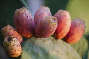 Prickly Pear Health Benefits