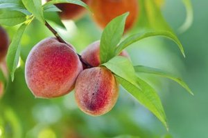 How Many Calories Does a Peach Have?