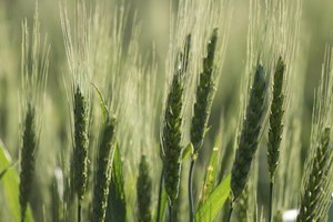 An Allergy to Wheat With Swollen Eyes
