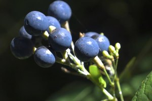 The Effects of Black Cohosh in Weight Loss