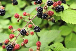 What Are the Benefits of Blackberries?