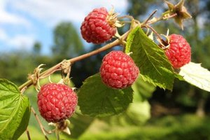 What Are the Side Effects of Red Raspberry Leaf?