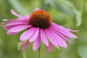 Side Effects of Echinacea & Goldenseal