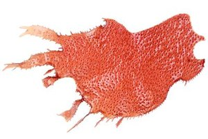 Red Marine Algae Health Benefits