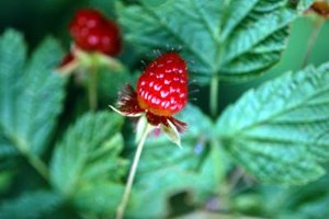 Does Red Raspberry Leaf Tea Help Postpartum Bleeding?