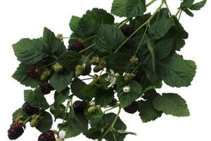 Side Effects of Blackberry Tea