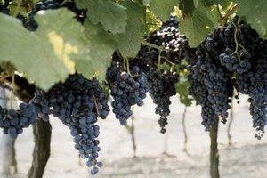 Benefits of Black Grapes in Weight Loss