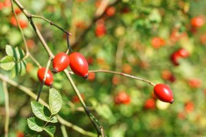Are High Doses of Rose Hips Dangerous?