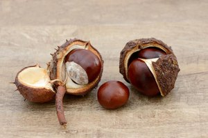 How to Preserve Buckeye Nuts