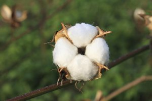 Cotton Seed Oil Uses