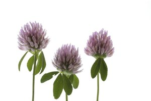 Can Red Clover Help Fibroids?