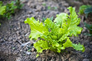 What Is the Healthiest Lettuce to Eat?