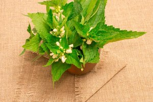 Herbal Remedies That Clean Out the Urine System