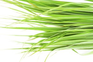 What Are the Health Benefits From Drinking Fever Grass …